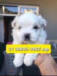 Título do anúncio: Filhotes Cães Top em BH Maltês Beagle Yorkshire Lhasa Shihtzu Basset
