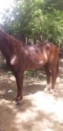 Cavalo marcha picada ( corredor )