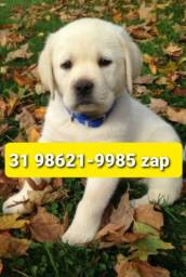 Título do anúncio: Cães Filhotes Excelência BH Labrador Pastor Dálmata Golden Rottweiler
