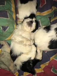 Vendo dois filhotinhos de Lhasa Apso