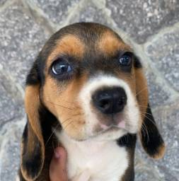 Título do anúncio: Filhotes de beagle com pedigree e vacina importada