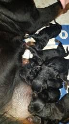 Título do anúncio: Filhotes Rottweiler Pais de Grande Porte