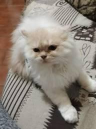 Gato Persa Macho 5 meses