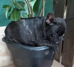 Maravilinda Bulldog Francês ( 2 meses )