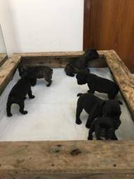 Filhotes bulldog francês