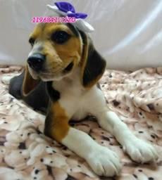 Beagle fêmea 13 polegadas a pronta entrega, está Microchipada