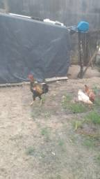 Vende se frango caipira