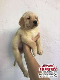 Labrador filhotes maravilhosos, todas cores, única loja com uma rede de 10 clinicas