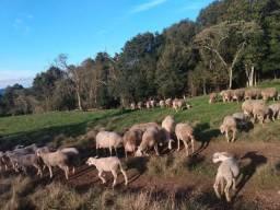 Ovelhas lacone