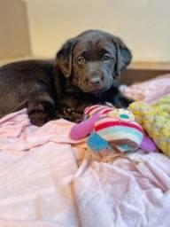 Título do anúncio: Labrador disponíveis, adquira já o seu bebê!