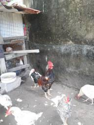 Vendo um galo e 3 galinhas caipiras por 140 reais