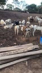 Título do anúncio: Vende-se carneiros, cruzamento industrial.