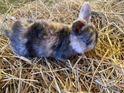 Filhotes de mini coelho lop