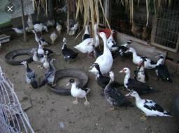 Vendo patos, picotes e estrume