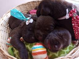 Título do anúncio: Filhote de Labrador