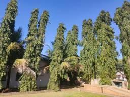 "Mudas árvore mastro"" chopala"" ""shoupala"