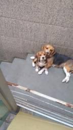 Lindo filhote de Beagle!!! Um amor