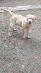 Labrador fêmea cim apenas 1 ano.