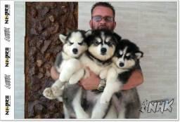 Husky Siberiano belíssima raça