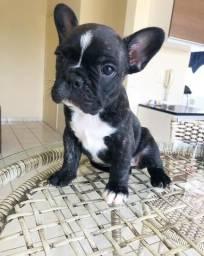 Filhote de Bulldog Francês fêmea