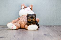 Yorkshire Terrier filhotes, promoção Natal