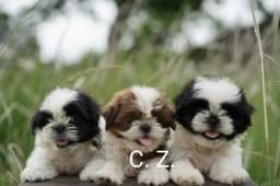 Título do anúncio: Filhotes de Shih Tzu ótimo padrão com recibo de compra e venda