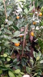 Grande promoção de inverno frutíferas baratas
