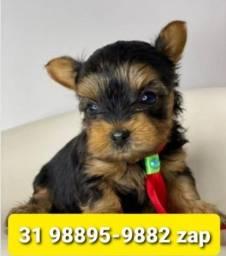 Título do anúncio: Cães Filhotes Belíssimos BH Yorkshire Beagle Lhasa Shihtzu Basset Maltês