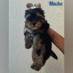Macho de Yorkshire Terrier com Pedigree CBKC