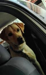 Labrador procurando namorada