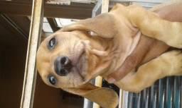 Vende-se filhotes cachorro Dasch Hound (basset salsicha colfap)