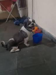 Venda Cachorro shih tzu