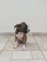 Filhote cachorro Boxer