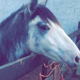 Cavalo Crioulo Azulego