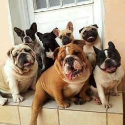 Bulldog Francês, fêmeas e machinhos, já vacinados e com todas as garantias em contrato.