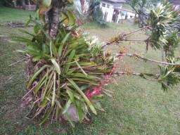 Bromélias lindas