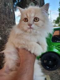 Gatos persas Disponível 65 dias Fêmeas e machos