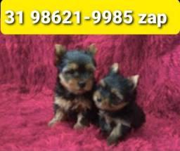Título do anúncio: Filhotes Cães Padrão Exposição BH Yorkshire Lhasa Basset Shihtzu Maltês
