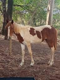 Título do anúncio: Vendo égua nova mangalarga paulista  boa no andar  e mansa