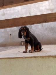 Título do anúncio: Cachorra Azul de Gasconha