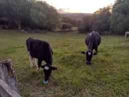 Vendo vaca e terneira filha.