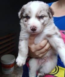 Título do anúncio: Husky Siberiano alto padrão