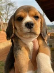 Título do anúncio: Filhotinhos de beagle tricolor e bicolor a pronta entrega
