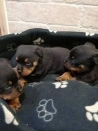 Título do anúncio: Rottweiler disponíveis, adquira já o seu bebê!