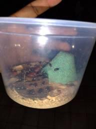 Cultura besouro do amendoim