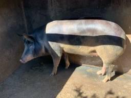 Vende-se porca caipira