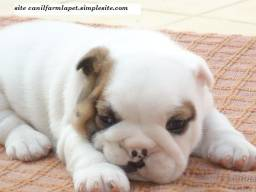 Bulldog Inglês criação com respeito valor justo canil farm la pet !