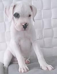 Lindo filhote de Boxer! Raro!