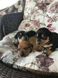 Filhotes de Rotteeweiler com Labrador