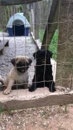 Top filhotes de Pug com pedigree e microchip